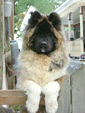 Long Haired Akita This Is A Fuzzy Grizzly So Cute I