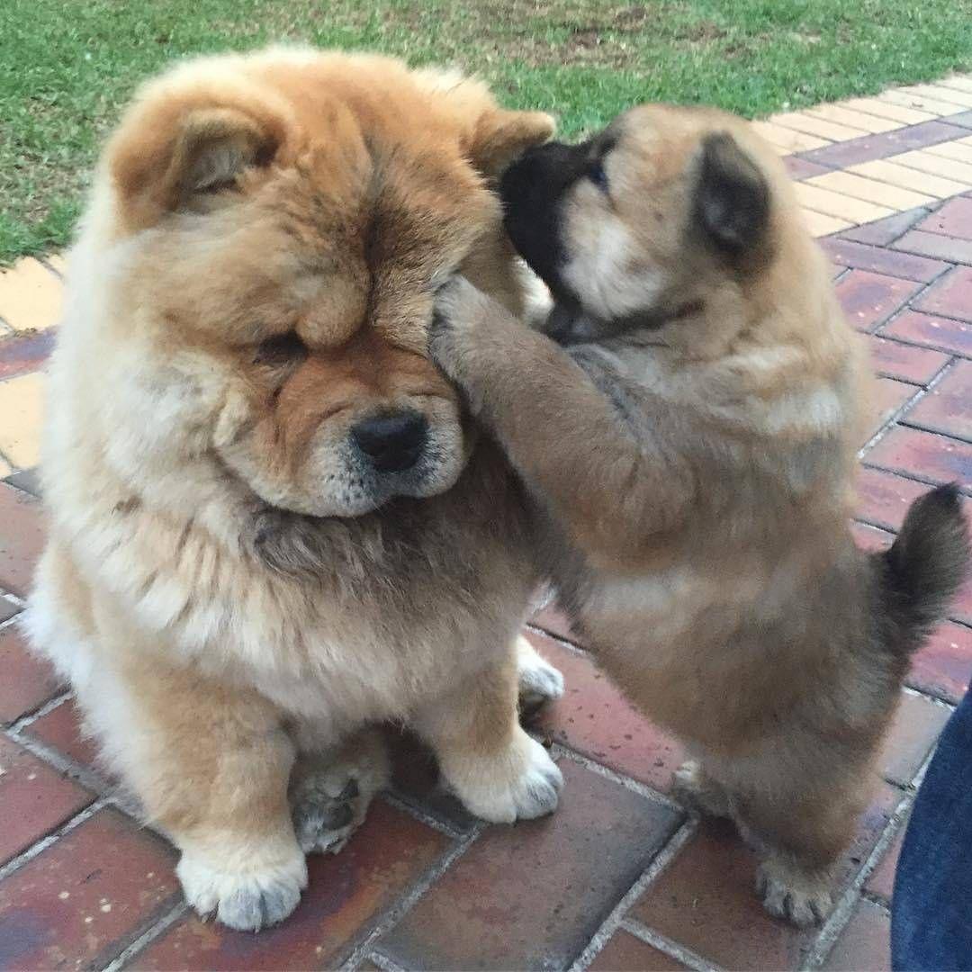 Top Chow Chow Chubby Adorable Dog - 3ba46bc6cb46945942aa7a8d93c48766  Photograph_871637  .jpg