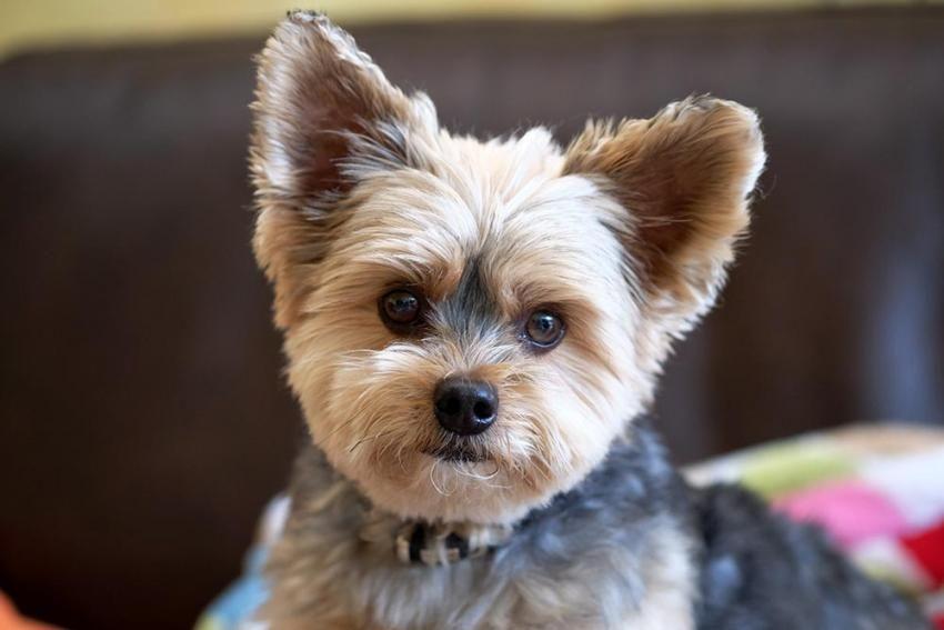 Diy yorkie grooming tips figo pet insurance yorkie