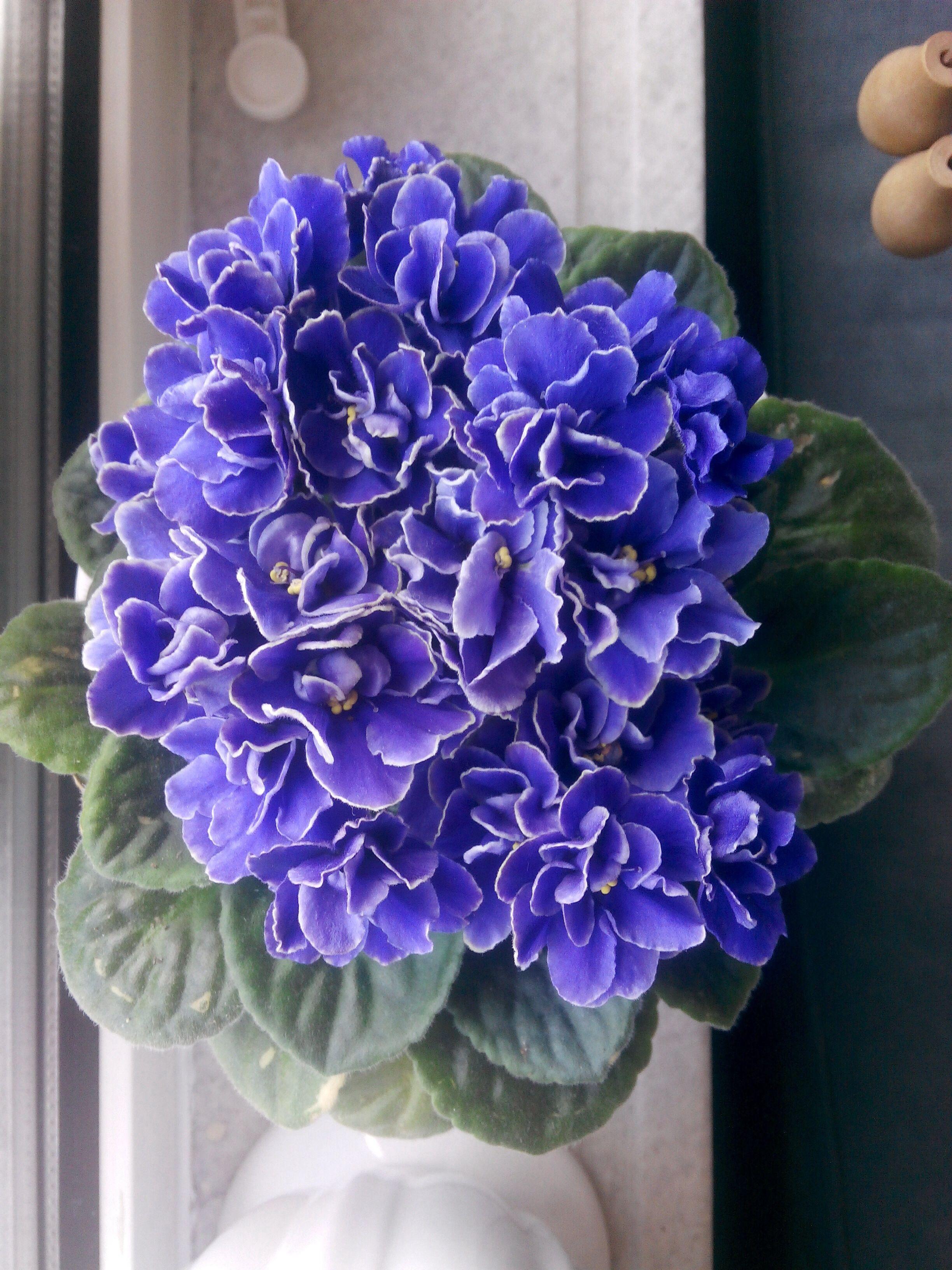 African Violet Jardim