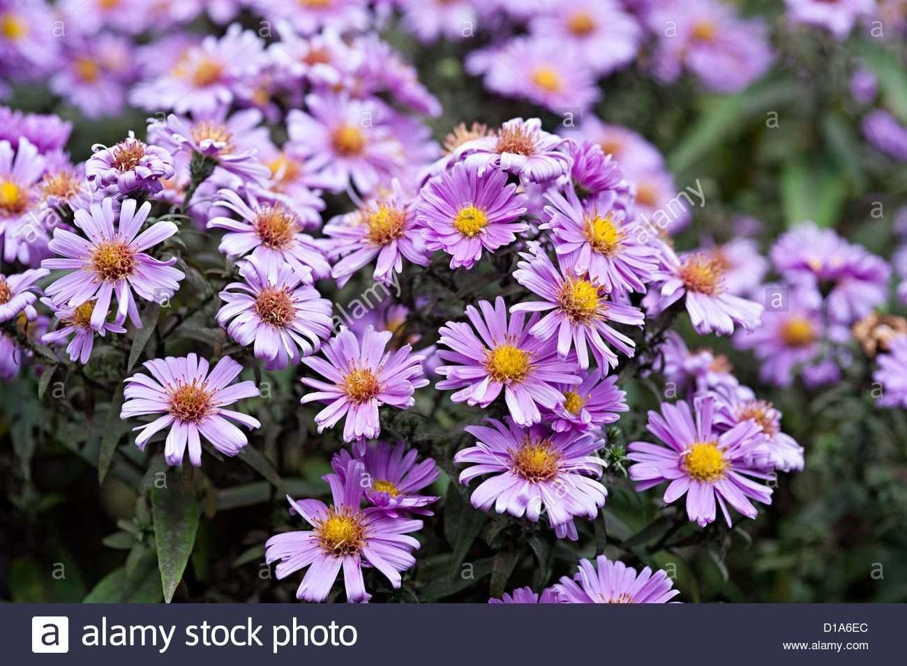 Michaelmas Daisy Aster Purple Flower In A Uk Garden Stock Photo Purple Flowers Michaelmas Daisy Flowers