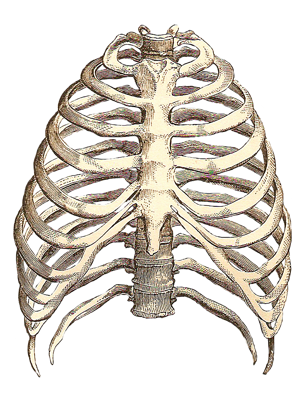 Rib Cage Drawing Art : drawing, Kanan, Nagel, Inspiration., Drawing,, Skeleton, Drawings,, Anatomy