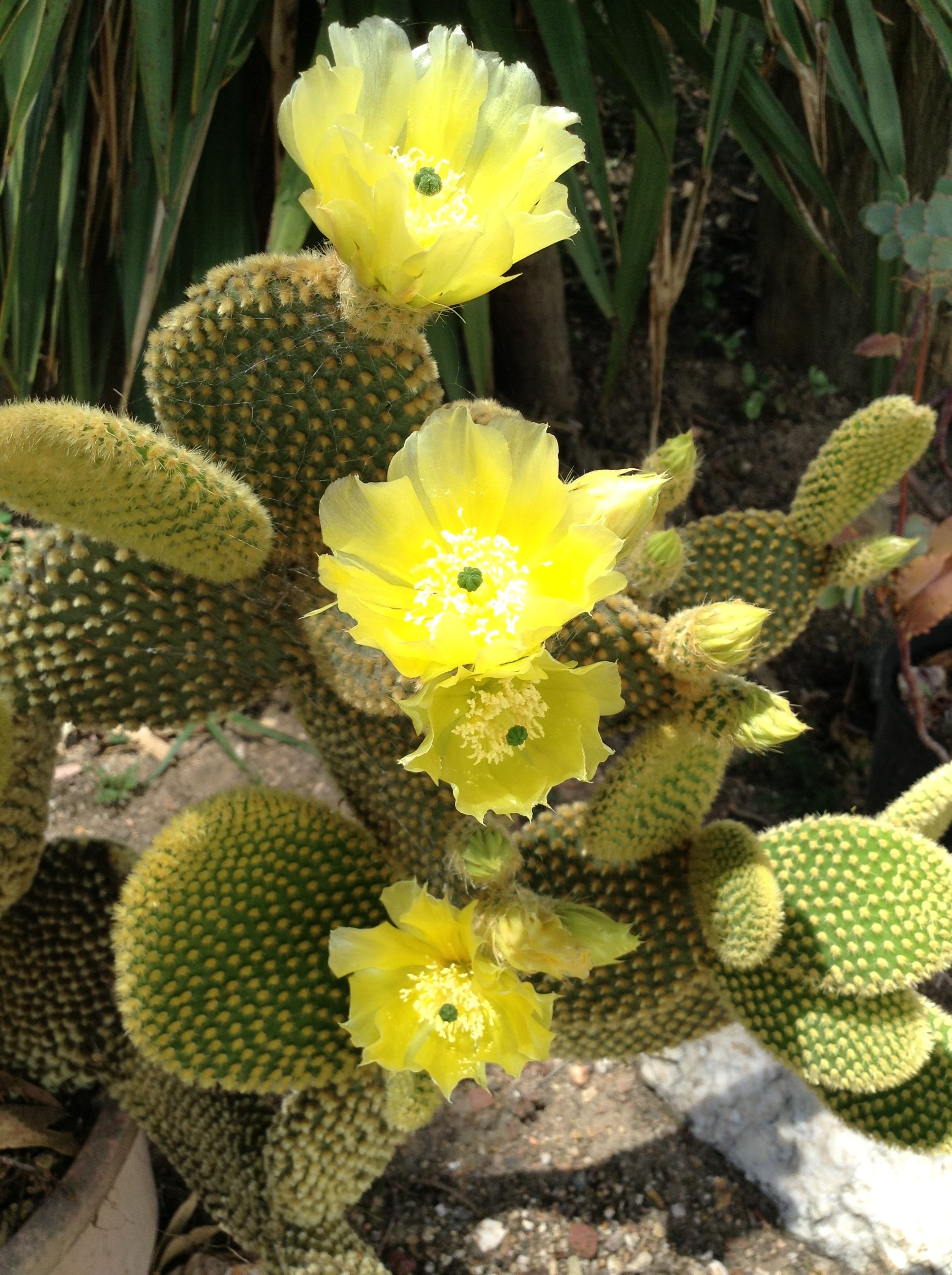 Opuntia 'Teddy Bear ears'