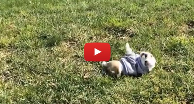 This Bulldog Puppy Rolling Down A Hill Will Steal Your Heart In 20