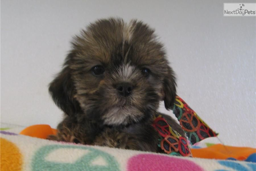 Shorkie Poo Pictures Yorkiepoo Yorkie Poo Puppy For Sale