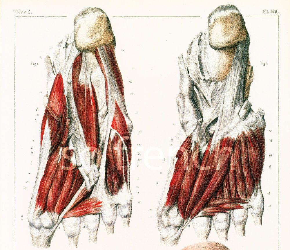 29x40cm muscles de la jambe et du pied reproduction planche anatomique corps human anatomy. Black Bedroom Furniture Sets. Home Design Ideas