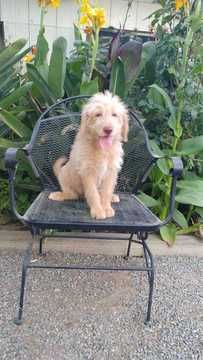 Litter Of 6 Labradoodle Puppies For Sale In Fresno Ca Adn 35486