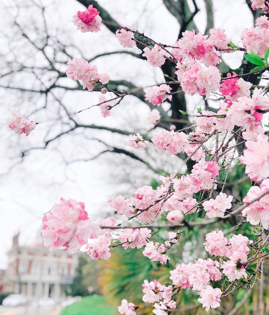 Explore Georgia On Instagram With Over 350 000 Yoshino Cherry Trees Visitmacon Becomes The Pinkest City In Th Yoshino Cherry Tree Yoshino Cherry Pink Trees