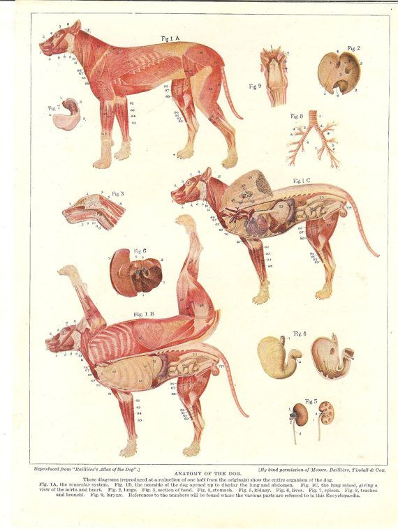 Vintage 1935 Dog Anatomy Print Canine Anatomy Veterinary Print Dog ...