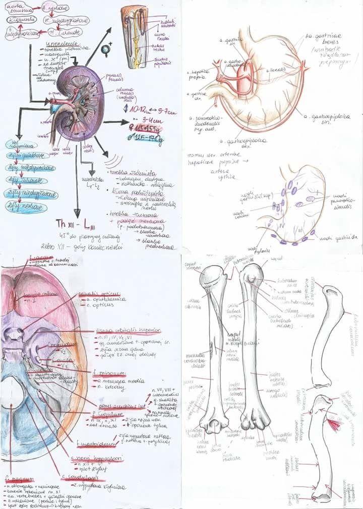 Pin von Julie Rhanna auf Study | Pinterest | Anatomie, Anatomie des ...