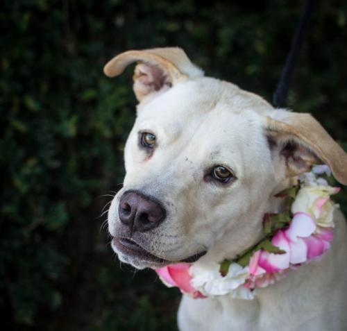 No Longer Available Ophelia Labrador Retriever American