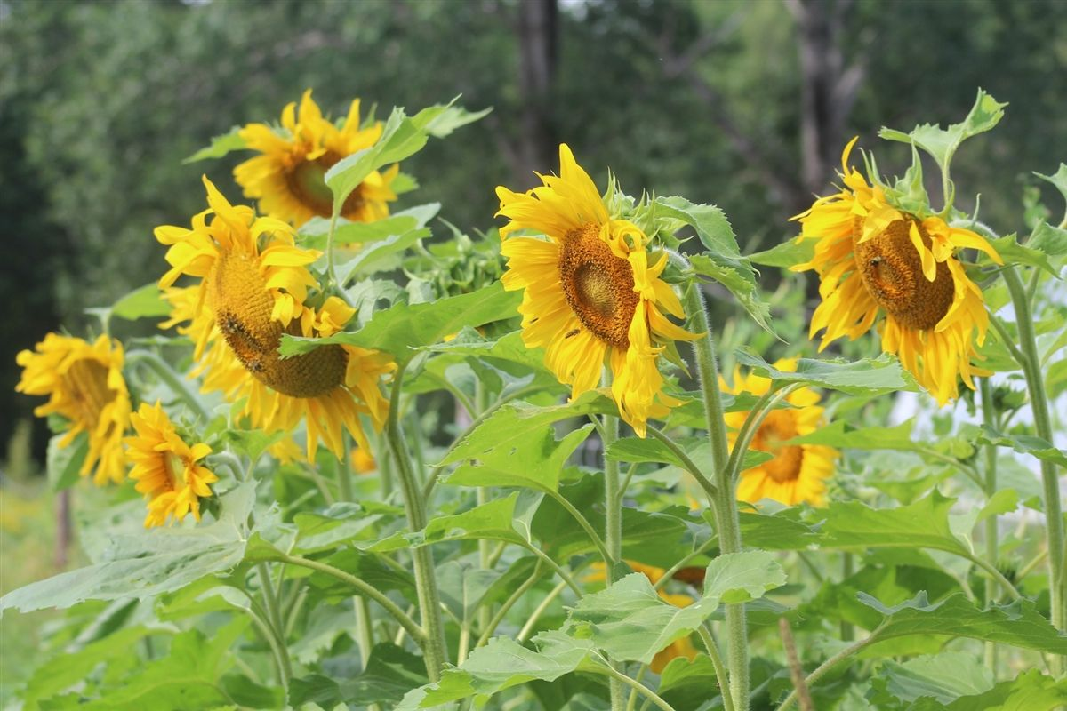 Standfast Sunflower Annapolis Seeds Heirloom and Open