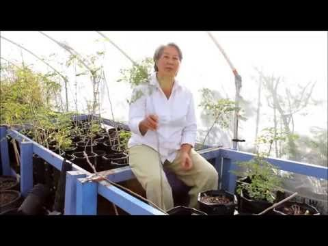 How to Prune your Moringa for More Leaf Production - YouTube