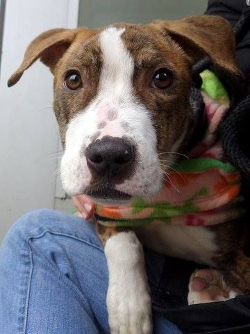 SAFE --- URGENT - Manhattan Center    MAGALY - A0991973   FEMALE, Y BRINDLE / WHITE, PIT BULL MIX, 10 mos  STRAY - STRAY WAIT, NO HOLD Reason STRAY   Intake condition NONE Intake Date 02/19/2014, From NY 10461, DueOut Date 02/22/2014 Main thread: https://www.facebook.com/photo.php?fbid=761802653832616&set=a.617938651552351.1073741868.152876678058553&type=3&permPage=1