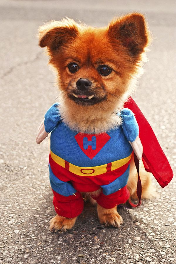 14 Pets Dressed Up As Superheroes With Images Dog Halloween