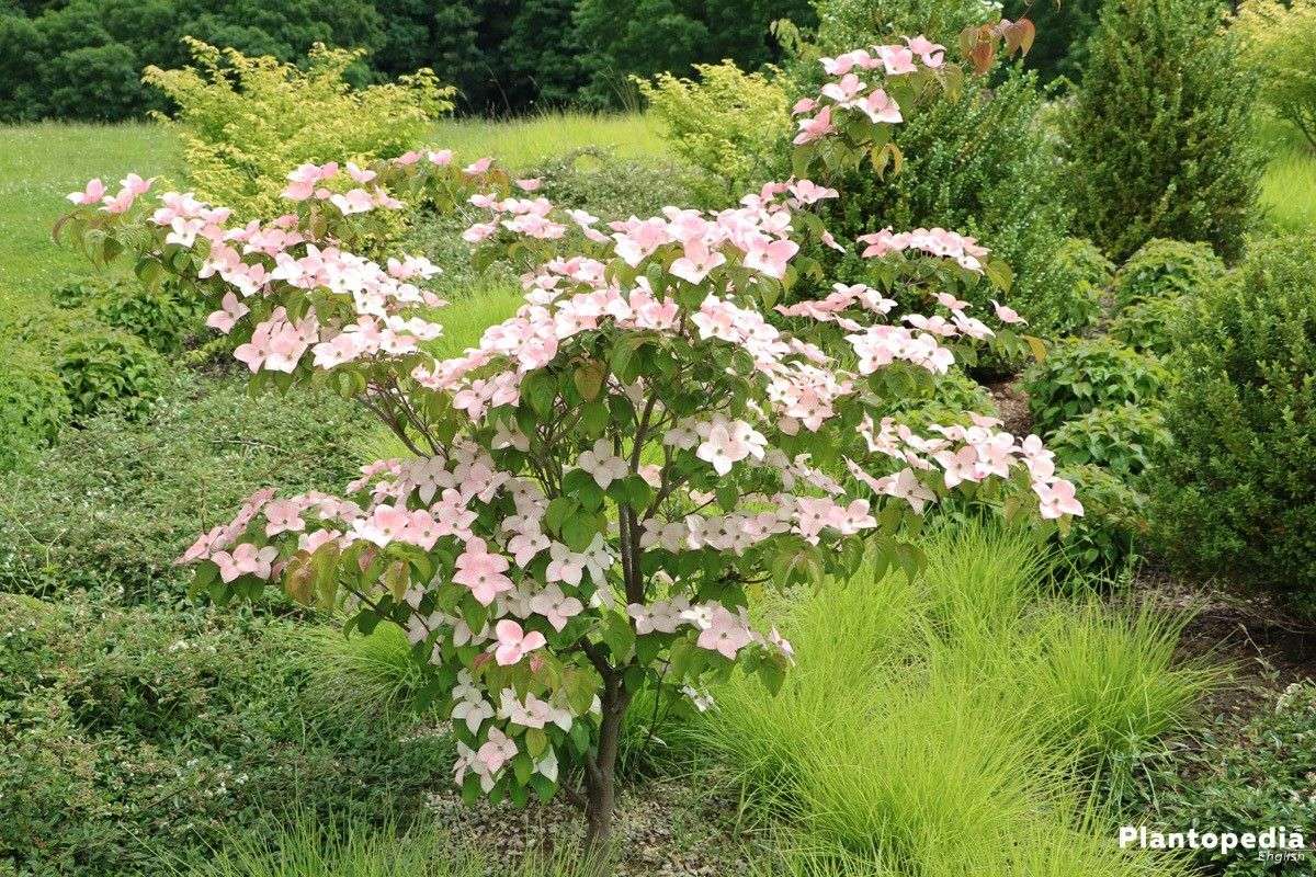 Cornus, dogwood, also called red or flowering dogwood. In