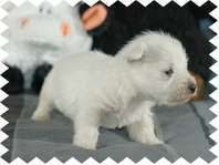 West Highland Terrier AKC puppies (westies) - Dogs - Pets and