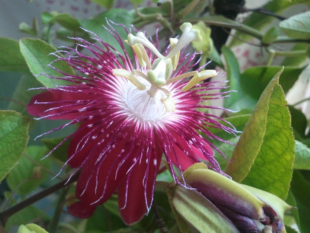 Armaity mistry all kinds of flowers pinterest passion flower