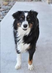 Maxine Is An Adoptable Australian Shepherd Dog In Duluth Mn Maxine Is A Beautiful Seven Year Old Au Australian Shepherd Dogs Aussie Dogs Australian Shepherd