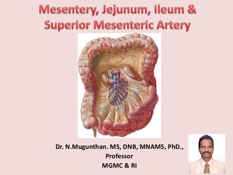 Mesentery Jejunum Ileum Superior Mesenteric Artery Pdf Lecture