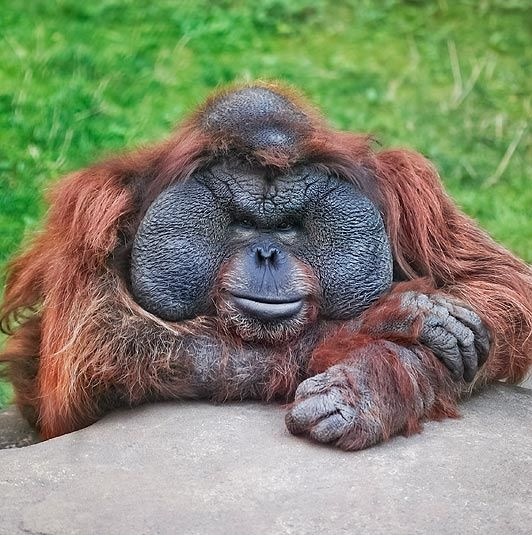 Orangutan 50th Birthday The Kalimantan orangut...
