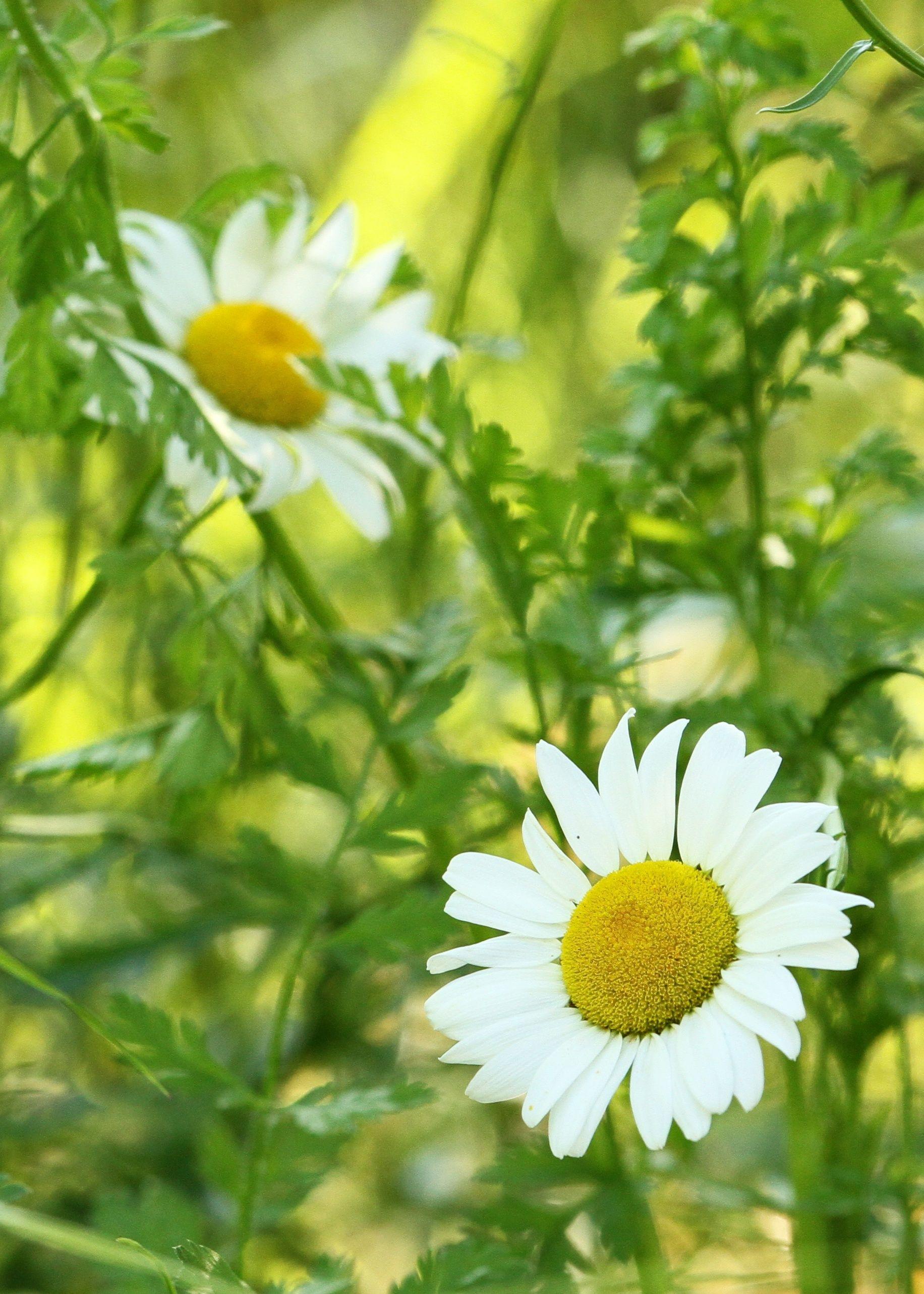 wild daisy u0027s weir farm ridgefield connecticut nature