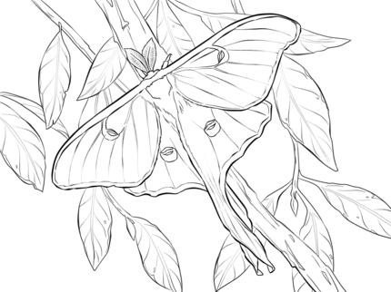 Realistic Luna Moth Coloring Page