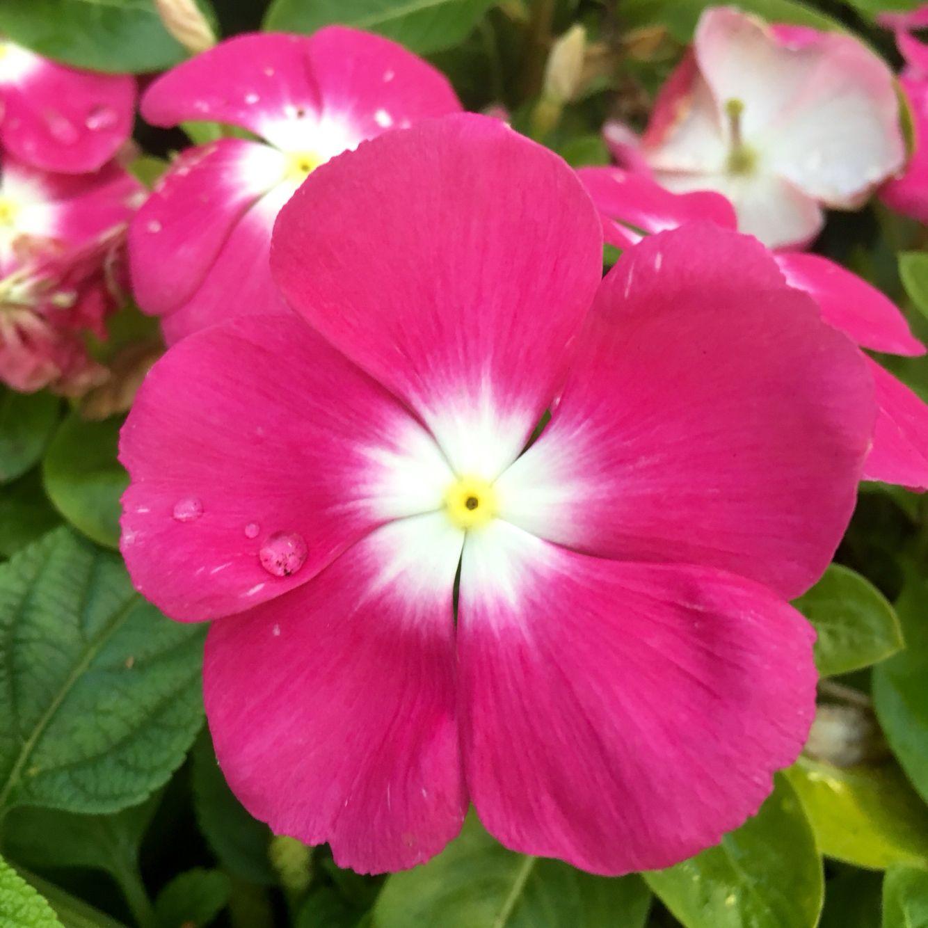 Vinca Periwinkle Flowers Pinterest Flowers Houseplants And
