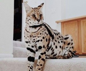 Pin By R2 On Cats Bengal Savannah Asthera And Servals