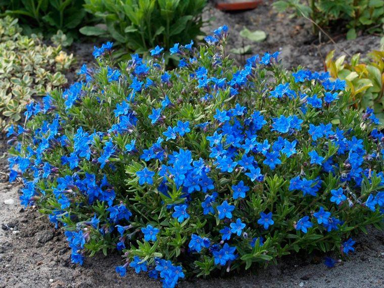 lithodora heavenly blue lithodora heavenly blue b. Black Bedroom Furniture Sets. Home Design Ideas