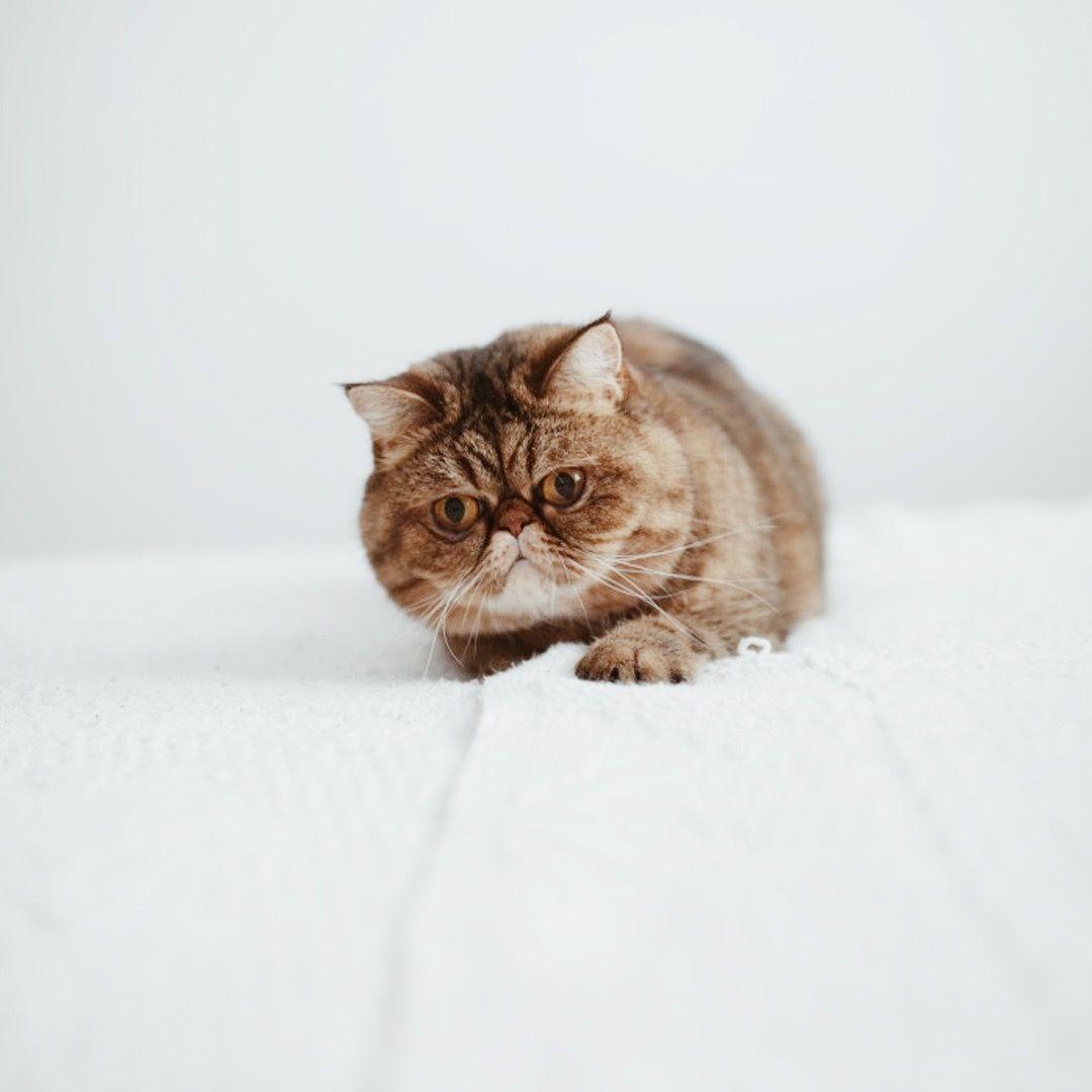 #cat #persian #persiancat