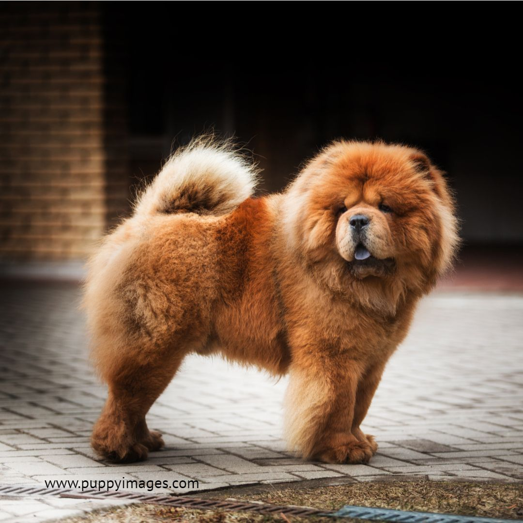 Red Chow Chow On A Road Chow Chow Dogs Chow Chow Puppy Dog Images