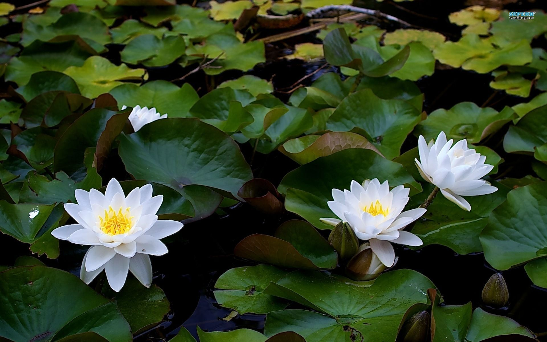 Flowers For Water Lily Flower Wallpaper