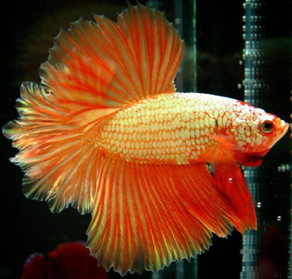 fwbettashm1452654613 - ***Orange-Faether-Dragon***HM-Male ...