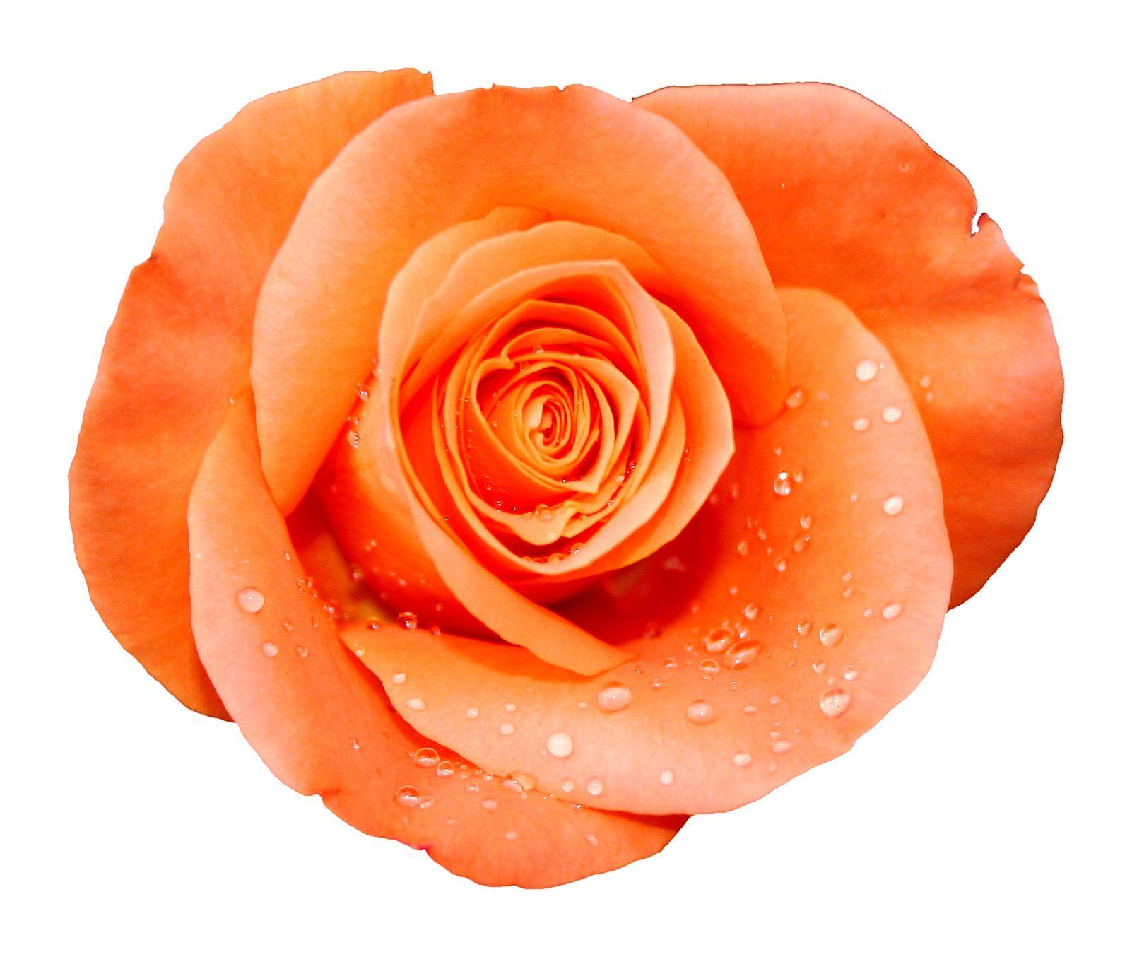 orange rose no background - Google Search | Flowers ...