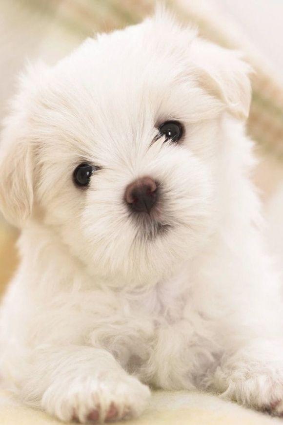 So fluffy & Cute I love umm Maltese puppy, Puppies
