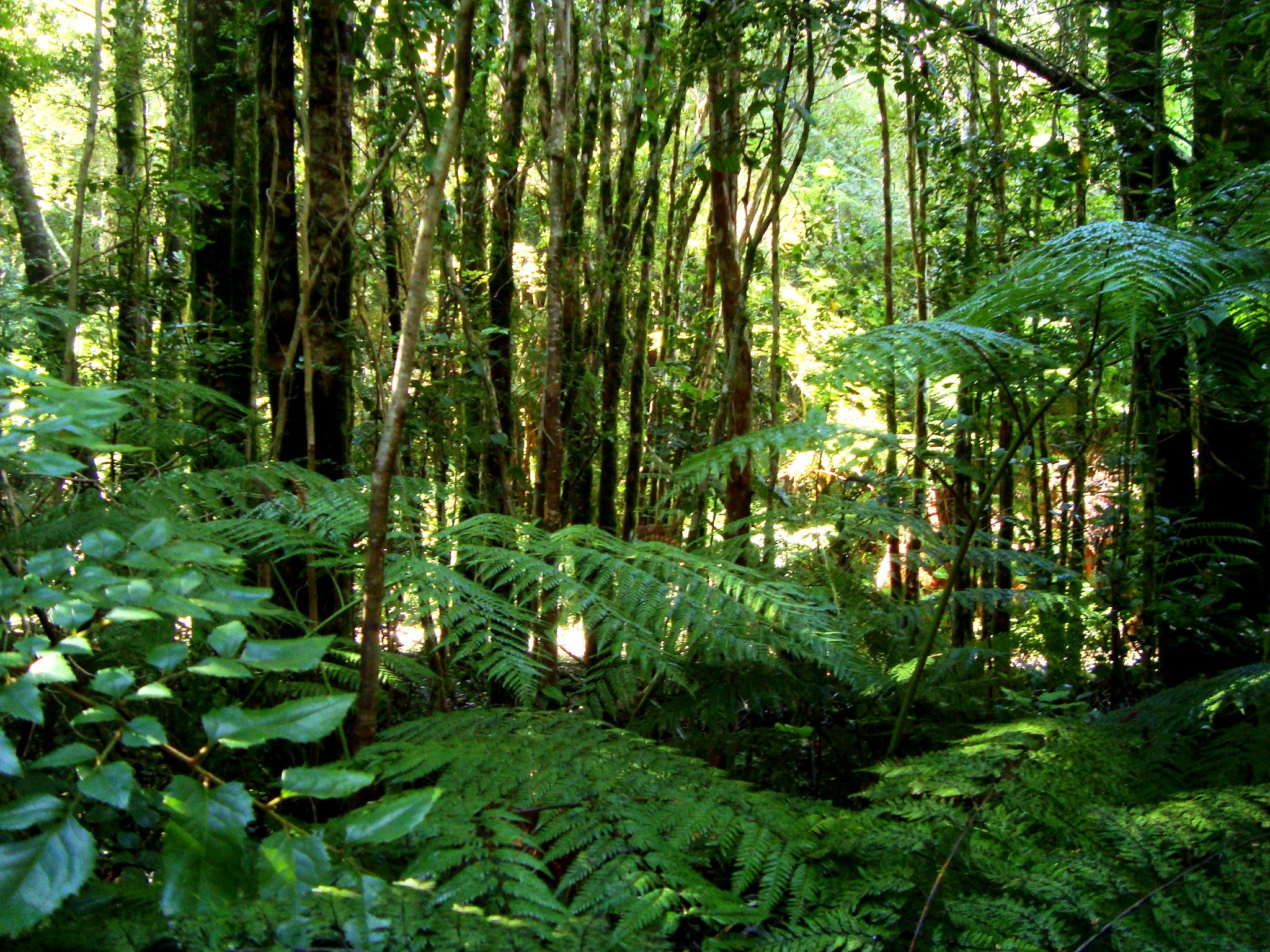 Valdivian temperate rain forest Wikipedia the