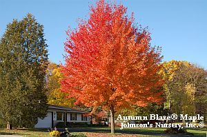 Freeman maple - less messy, less aggressive roots, good fall color, fast growing
