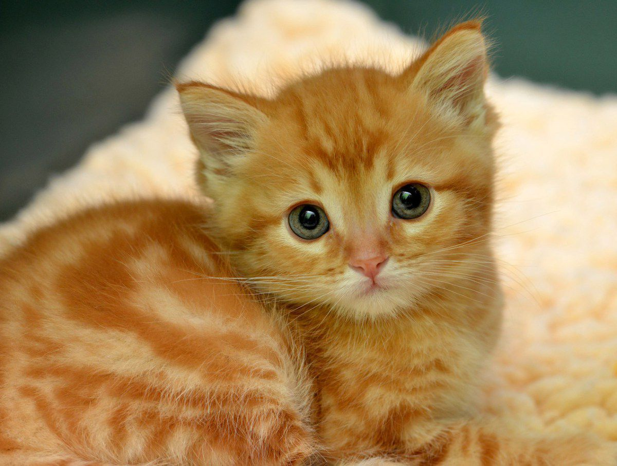 Little ginger. Baby cats, Kittens cutest