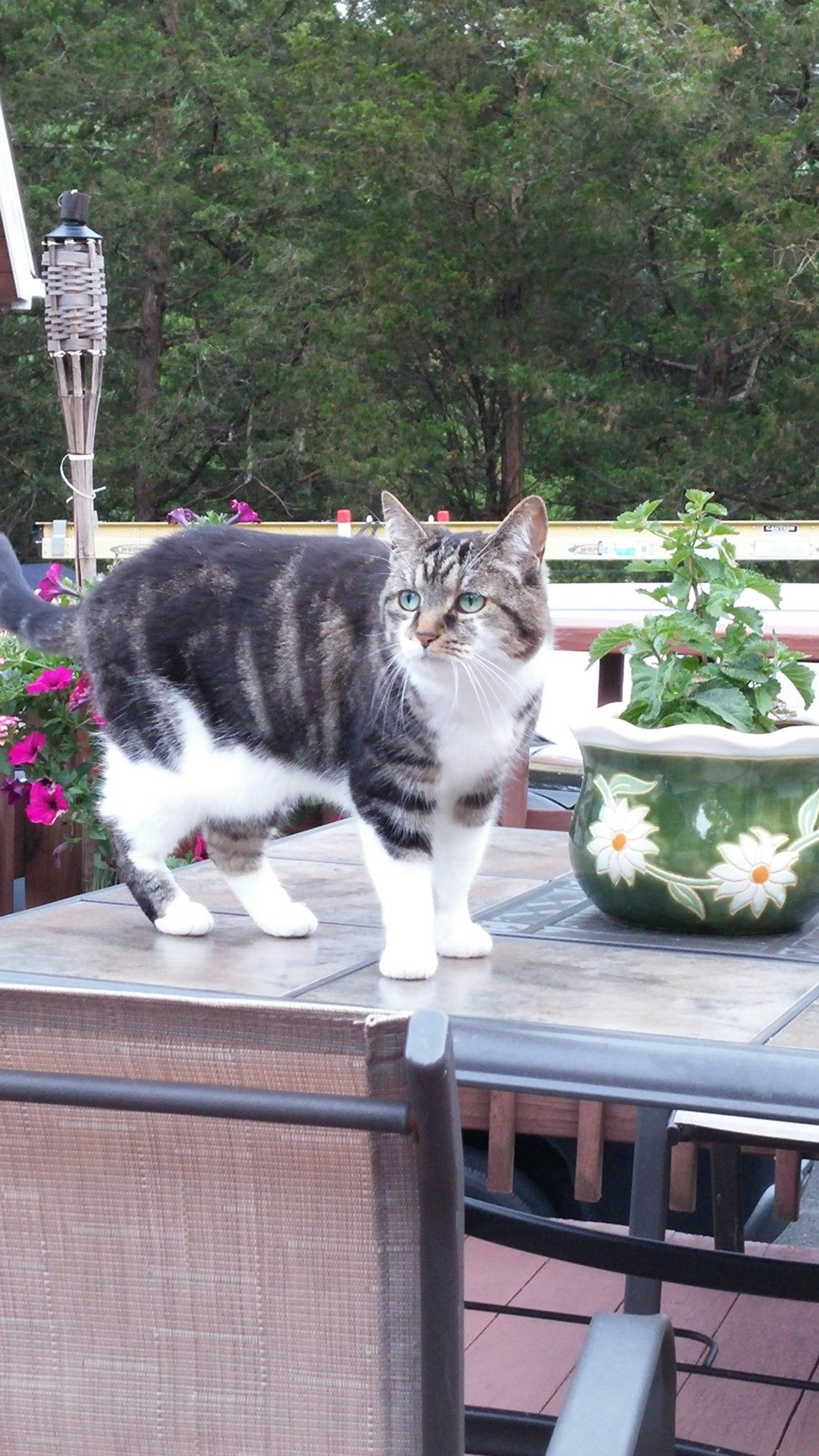 Lost Name Luna Date Lost/Found 09/04/2015 Tabby Cat