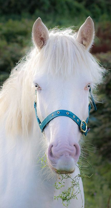There is no such thing as a true albino horse. A horse may be a double diluted color such as ... - photo#17
