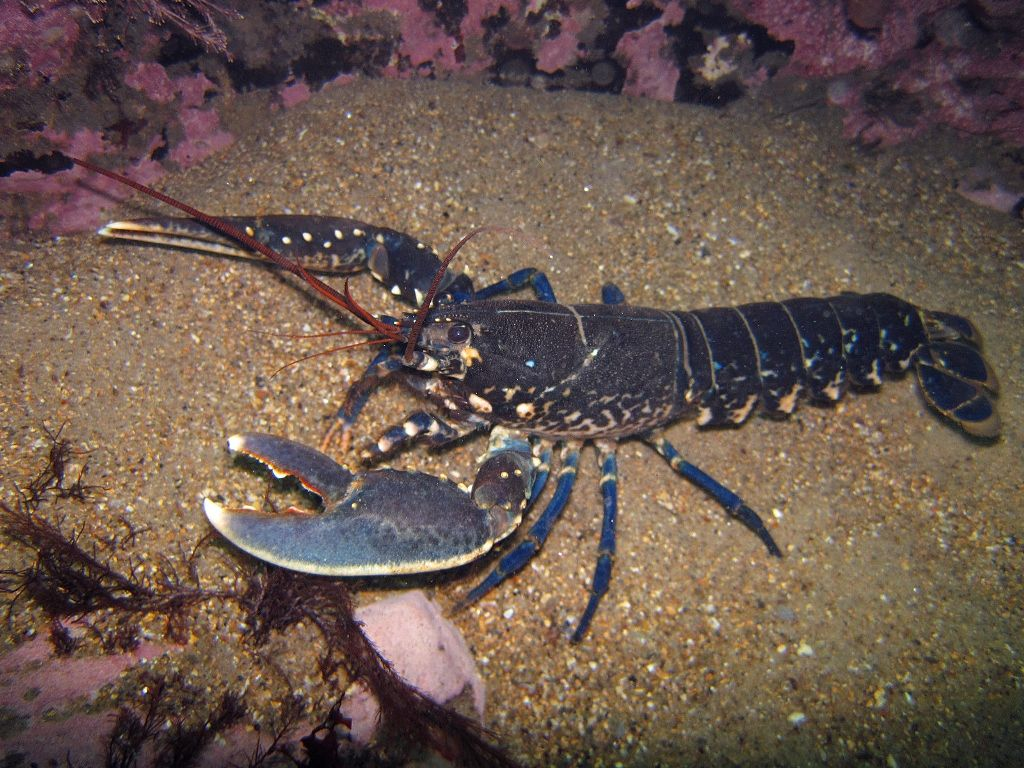 Homarus gammarus, known as the European lobster or common lobster, is a species of clawed ...