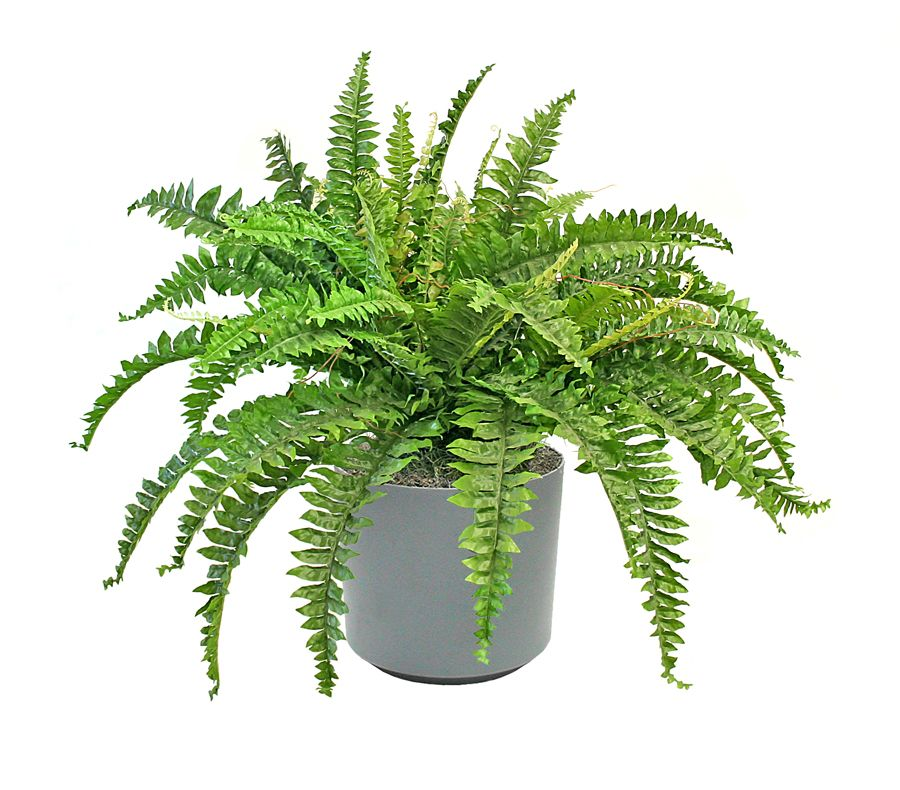 BostonFern and Bamboo Palm are completely nontoxic