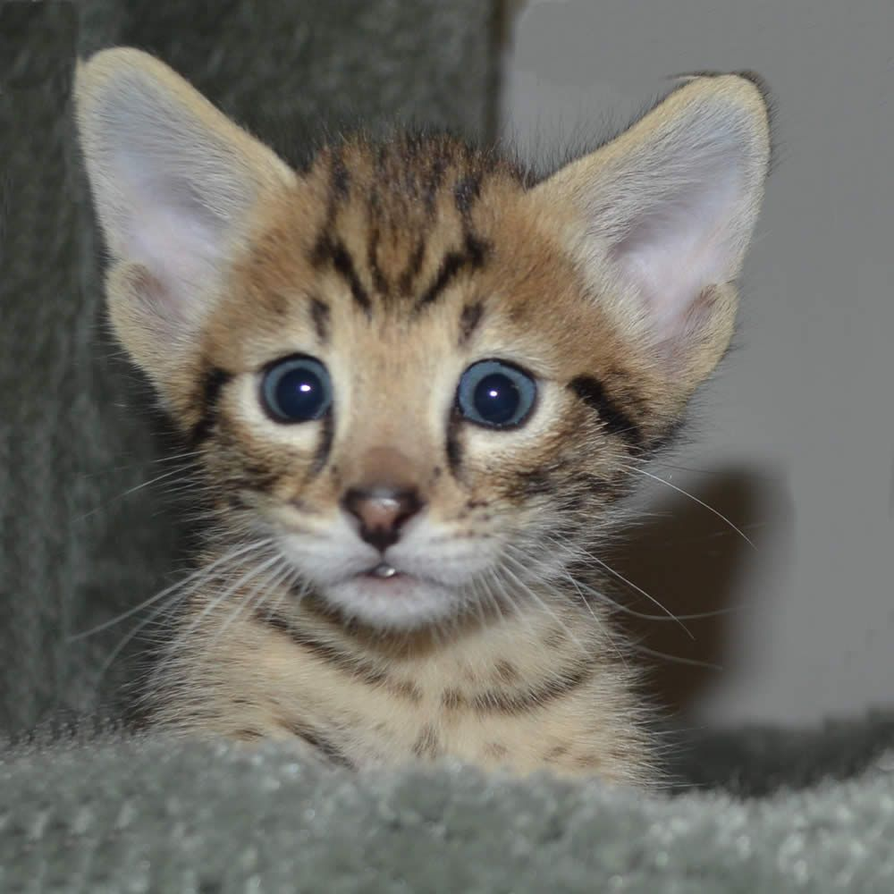 Pin By Mary Rendall On Cats With Images Savannah Kitten Kitten Pictures Savannah Kittens For Sale