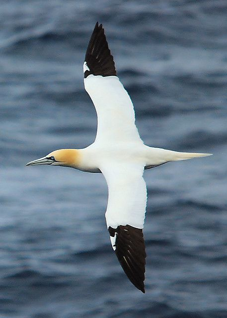 Gannet (Morus bassanus) | The Northern Gannet (Morus bassanu… | Flickr