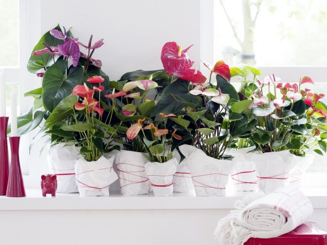 Pick Her Up A Plant This Mother S Day House Plants Flamingo Flower Plant Cuttings
