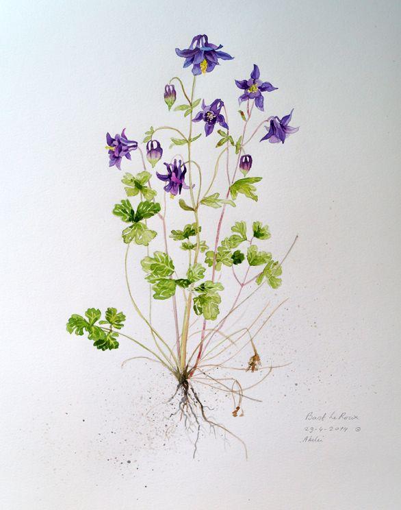 Akelei © Bart april 2014   Blumen und Pflanzen in Aquarell ...