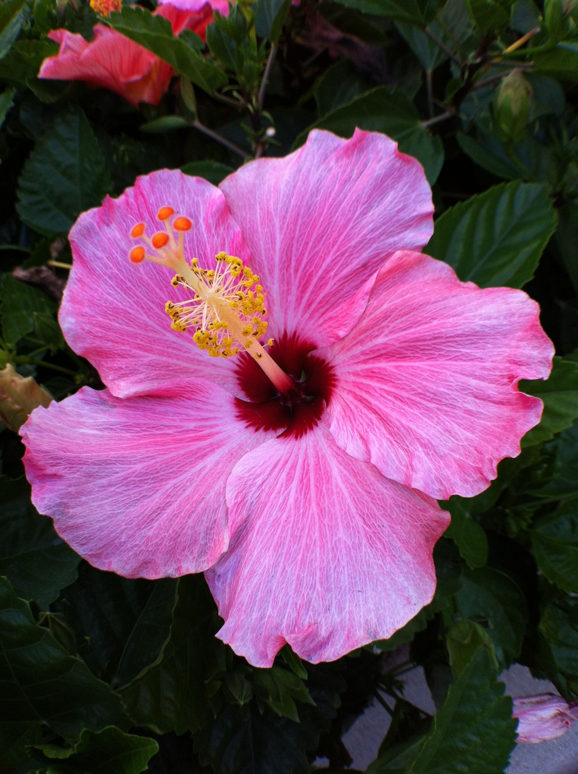 Hibiscus Florida s second state flower orange blossom is the official