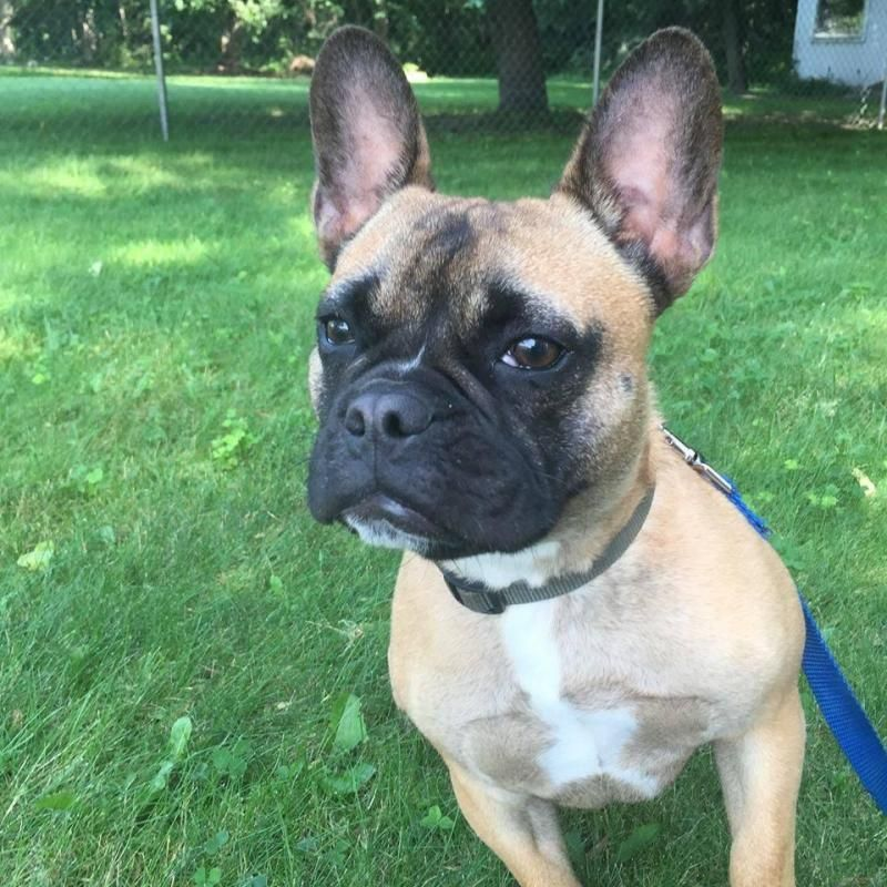Adopt Moose on | future puppy ideas! | French bulldog
