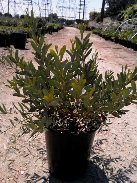 5 Acacia Redolens Prostrata Prostrate Acacia 07132017 Acacia
